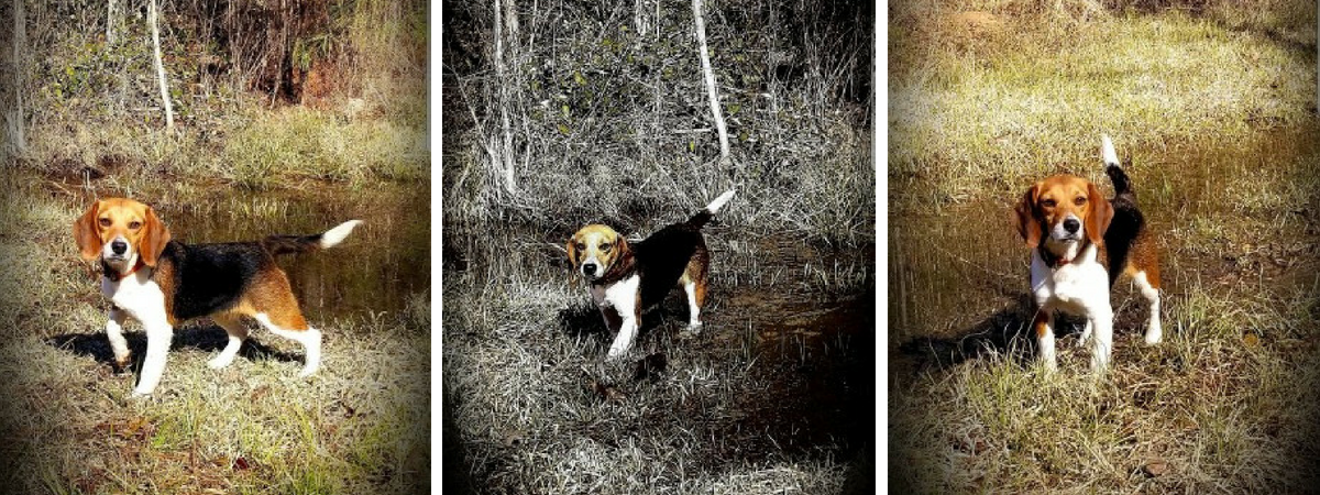 Angel B breeding beagle