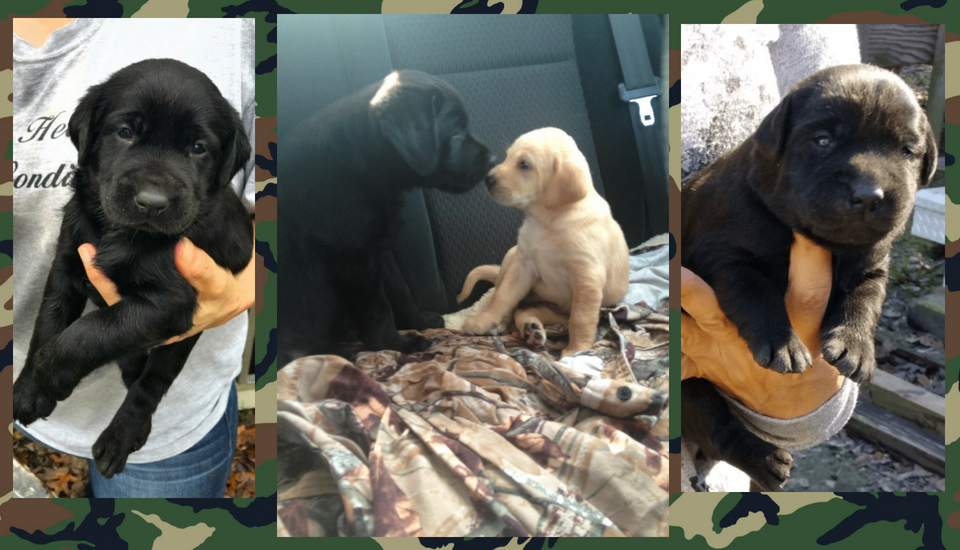 labs, Labrador puppies