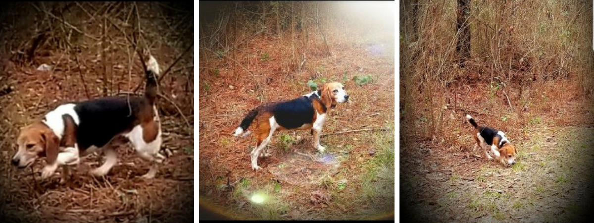 pretty girl breeding beagle