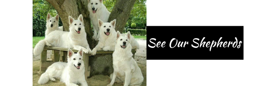 Click here to see our White German Shepherds